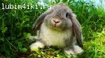 Кролик баран карликовый с ветсправкой.