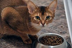 Кошка кушает корм