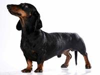 Собака породы Такса (Dachshund)