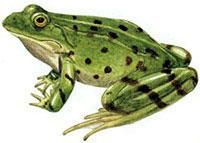 Лягушка озерная (Rana ridibunda)