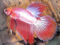 Домашние аквариумные рыбки