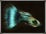 Аквариумные рыбки - гуппи