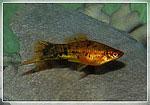 Аквариумные рыбки - меченосец