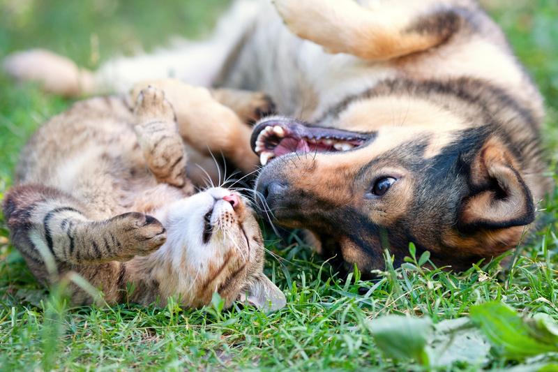 Кот и пес играют