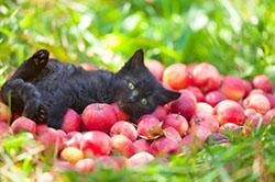 Котенок и свежие яблоки