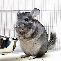 http://lubim4iki.ru/images/stories/rats/chinchilla3.jpg