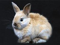 Декоративные кролики и их породы