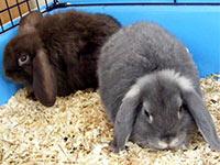 Как правильно содержать кролика