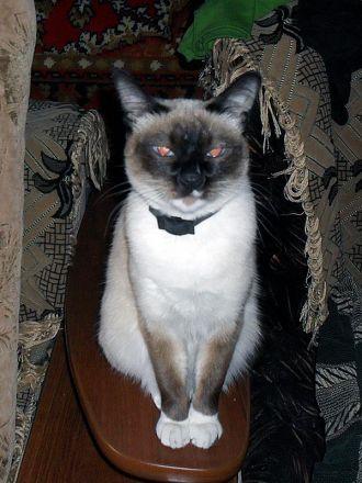 Сиамская кошка Дина