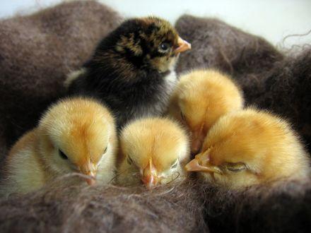 Цыплятам 1 день от роду!