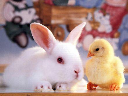 Кролик и цыпленок