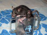 Домашние крысята резвятся