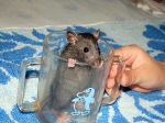 Домашний крысенок