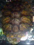 Водная черепаха Глаша