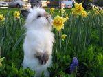 Карликовый кролик Ханни